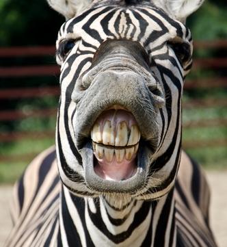 BE zebra face DP